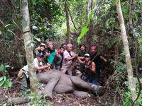 Kena Jerat Babi, Anak Gajah Sudah Gabung dengan Kelompoknya