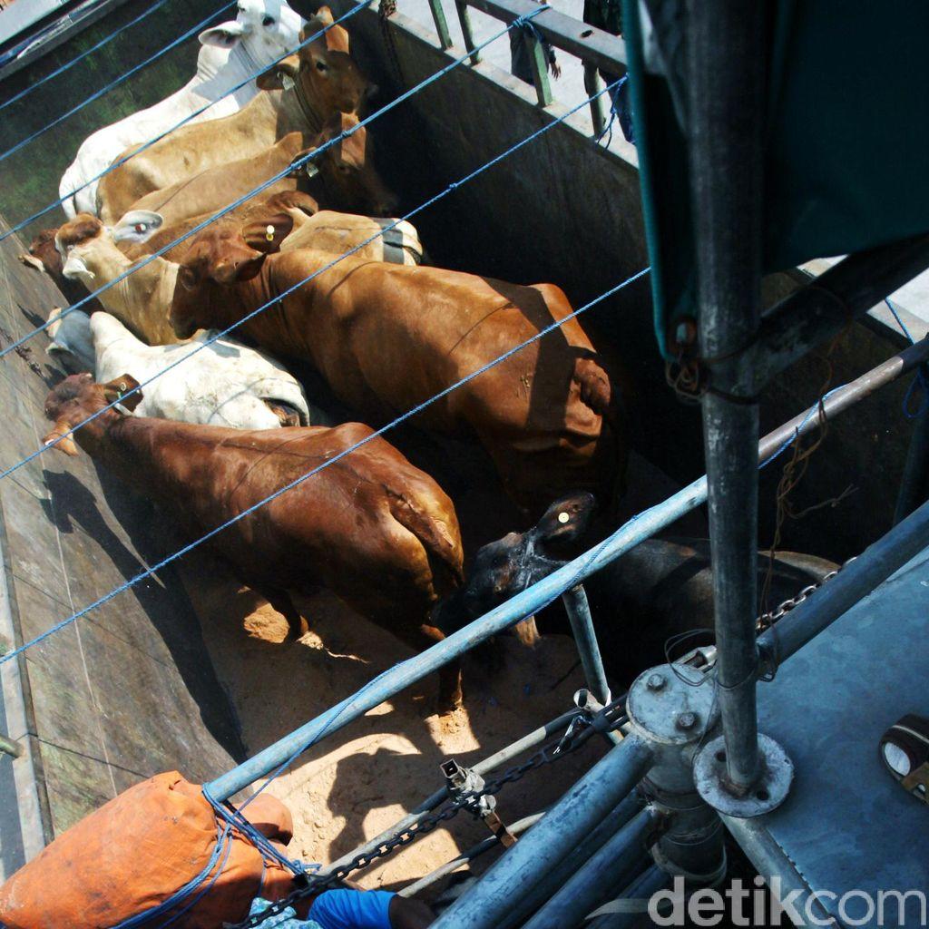 Upaya Penanggulangan Pemerintah Dalam Mengatasi Krisis Daging Sapi