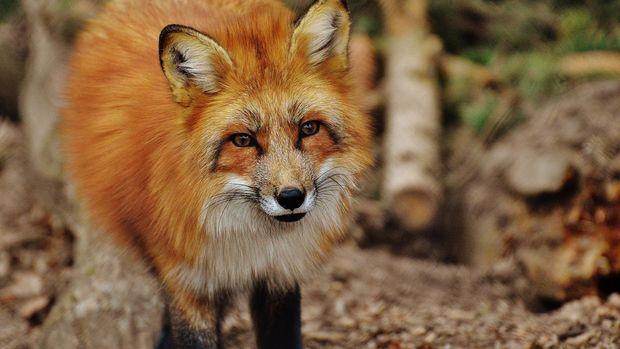 Bulu rubah kerap dijadikan material pembuat mantel bulu. Selain rubah, binatang lain yang juga dimanfaatkan bulunya untuk membuat mantel adalah mink.