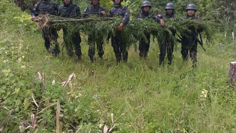 Pasukan TNI Kembali Temukan Ladang Ganja di Perbatasan Papua-PNG