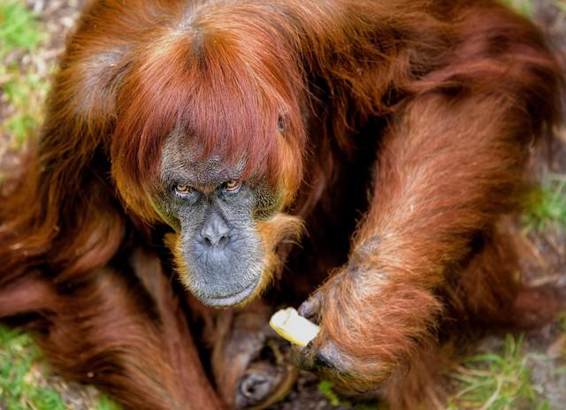 Kenalan Dengan Orangutan Tertua di Dunia