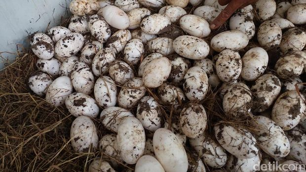 Telur buaya (Inaya/detikTravel)