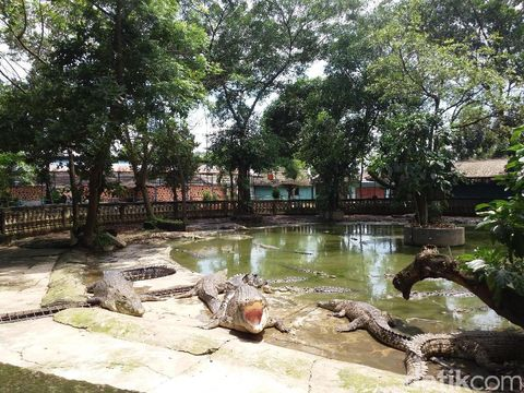 Buaya di kolam (Inaya/detikTravel)