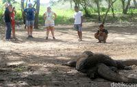 Wisatawan yg tengah melihat Komodo dari jarak aman (Agung Pambudhy/detikcom)