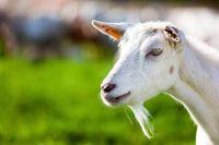 Gurih Enak Susu Kambing Bisa Jadi Pengganti Susu Sapi