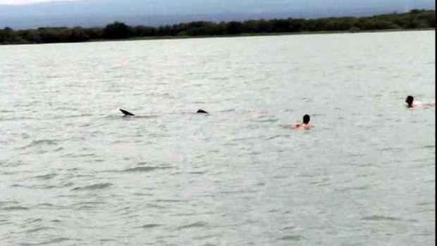 Wisatawan terjun ke laut berenang dengan Hiu Paus (Rofiq/detikTravel)