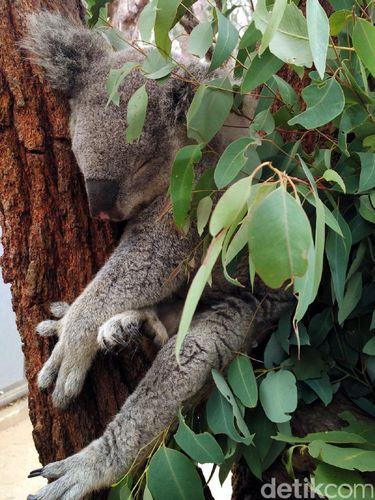 Koala yg sangat imut dan lucu (Wahyu/detikTravel)