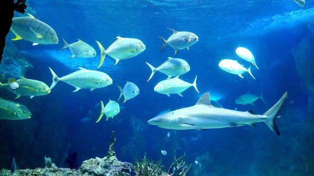 Ikan Hiu putih di SEA LIFE (Wahyu/detikTravel)