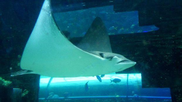 Ikan Pari Manta di akuarium besar SEA LIFE (Wahyu/detikTravel)