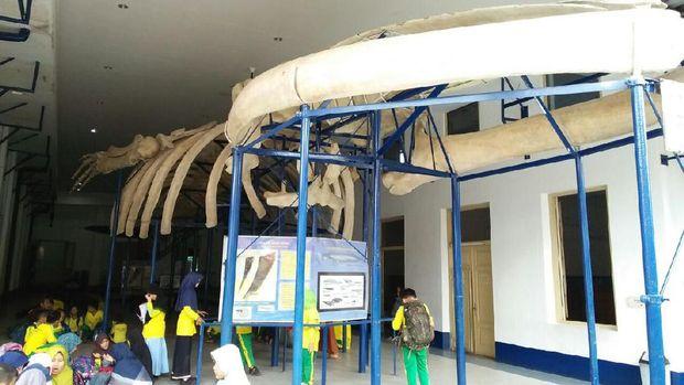 Museum zoologi ini punya kerangka paus biru lho (Bonauli/detikTravel)