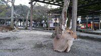 Melihat Rusa Sika, Hewan Suci yang Melegenda di Jepang
