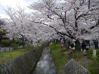 Philosopher's Path, Spot Terbaik untuk Menikmati Sakura di Kyoto