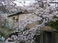 Sakura yg bermekaran di musim semi
