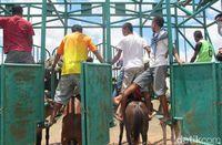 Atraksi Keren di Atambua: Pacuan Kuda