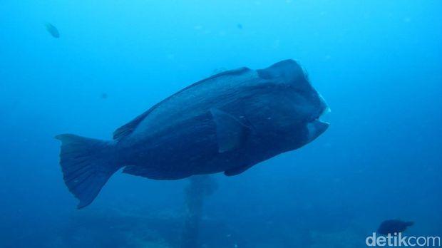 Ikan Bumphead Parrotfish (Kamal/detikTravel)