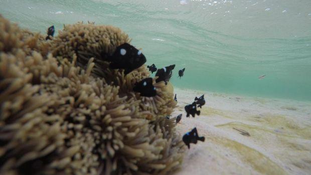 Ikan nemo hitam (Bonauli/detikTravel)