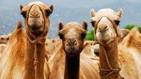 Peneliti di UEA Ingin Kembangkan Gelatin Halal Berbahan Unta