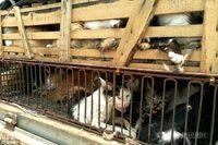 Kucing-kucing liar yang ditangkapi untuk dijual ke restoran