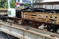 Kucing-kucing liar di China yang ditangkap dan dimasukkan dalam kandang.