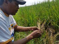 Diserang Wereng, 8 Ribu Hektar Sawah di Banten Terancam Gagal Panen