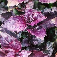 Basil berwarna ungu.