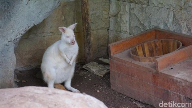 Ada kangguru albino juga di sini