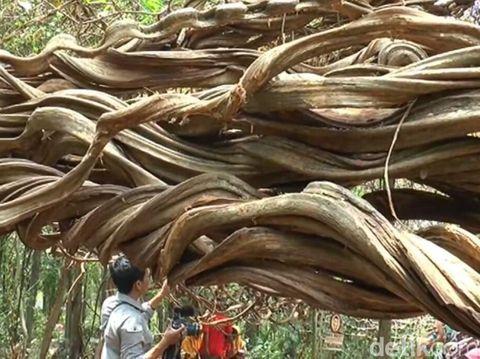 Pohon unik ini meliuk-liuk dan melilit akar pohon lain/