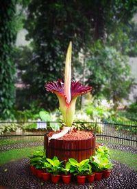 Bunga bangkai di Kebun Raya Bogor mekar