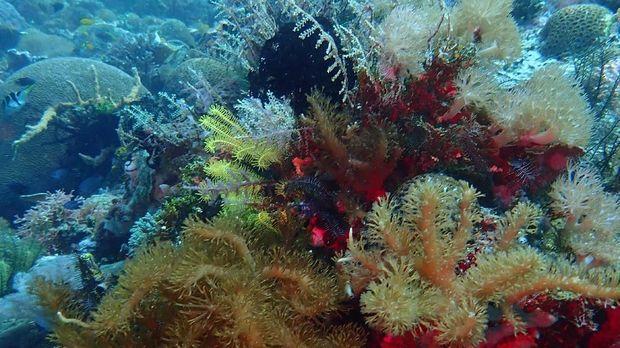 'Olesio' Banggai Laut
