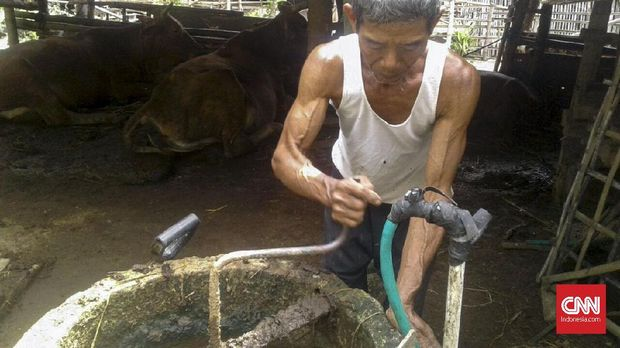 Cerita Subarno Olah Kotoran Sapi jadi Bisnis Pupuk Organik