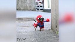 Kocak! Ketika Anjing Jadi Spider-Man