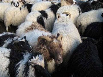 Islandia Tunda Penyembelihan Hewan Halal