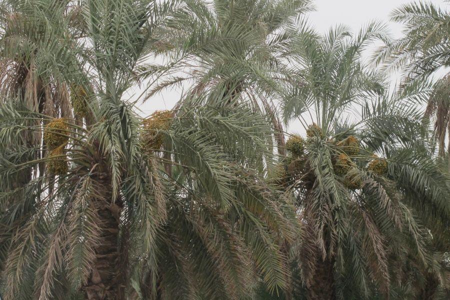 Image result for ladang kurma di madinah