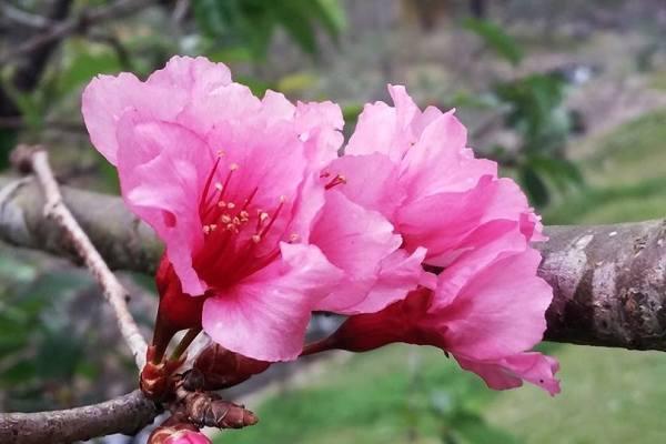 Wah Sakura Mekar Di Kebun Raya Cibodas