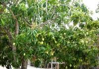 Siapa yang tak sabar mencicipi buah mangga ini, jika semuanya sudah meranum.