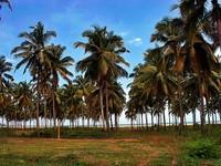 Pohon kelapa yang berbaris rapi