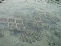 erumbu karang yang siap dilepas ke laut (dok. Putri/detikTravel)