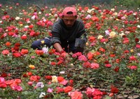 Petani yang sedang mengurus kebunnya (halomalang.com)