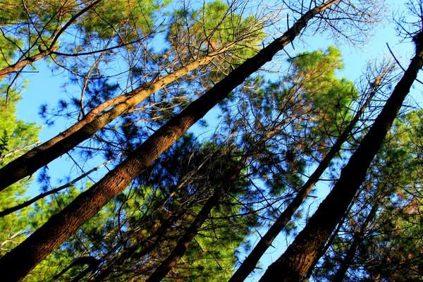 Rangkaian pohon pinus yang menghiasi hutan Gunung Burangrang
