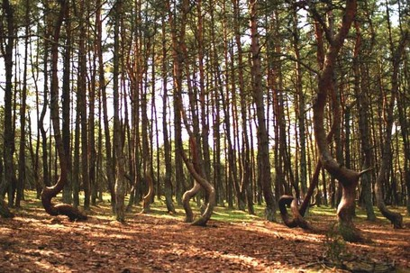 Ajaib! Semua Pohon Pinus di Hutan Ini Seperti Menari