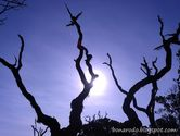 Kisah Pohon Mati di Puncak Pangrango