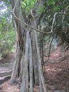 Pohon inilah yang jadi asal kata Trunyan. Taru menyan berarti pohon wangi, dinamakan begitu karena punya kemampuan menghilangkan bau bangkai pada mayat. Akarnya yang besar-besar meliuk di atas tanah, terbenam lagi persis di area 11 makam. (Sastri/ detikTravel)