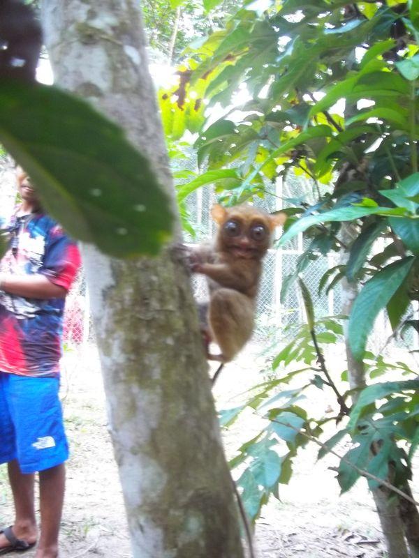 Tarsius di Belitung