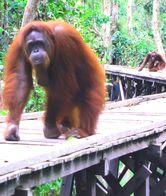 Tanjung Puting, Konservasi Orangutan yang Menarik Perhatian Dunia