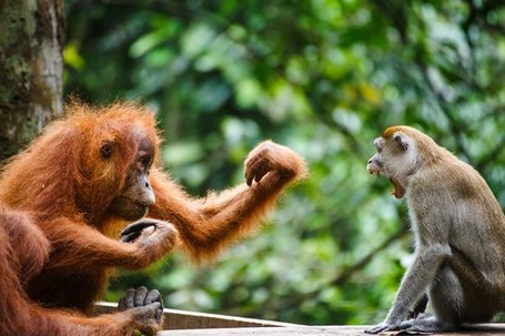 Orangutan & Monyet di TN Gunung Leuser Adu Tinju Demi Pisang