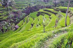 Bukit Campuhan & 4 Destinasi Keren Tur 1 Hari di Ubud