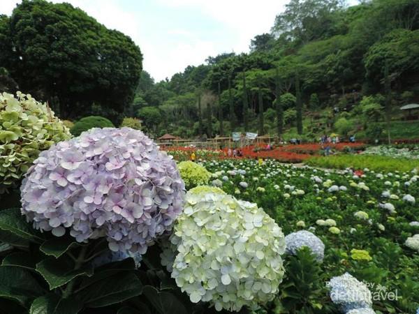Hamparan bunga di Selecta