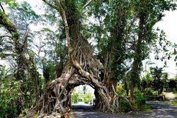 Ajaib! Terowongan Jalan dari Akar Pohon di Bali