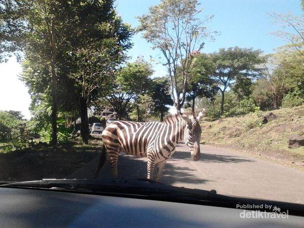 Zebra cross artinya marka jalan hitam putih untuk kita menyeberang jalan. Tapi di Taman Safari Prigen artinya adalah zebra yang sungguhan menyeberang jalan.