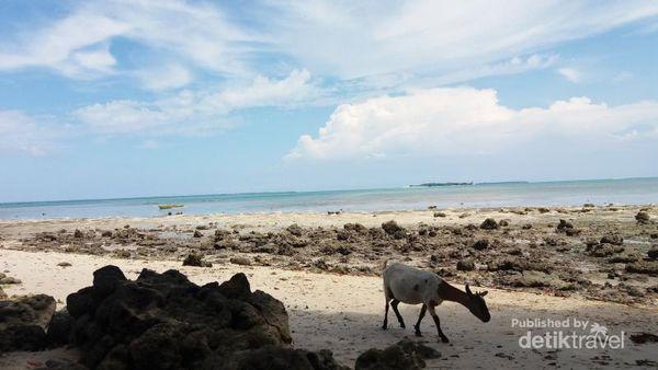 Kambing aja liburan, Kamu Kapan?  Foto ini diambil ketika saya sedang mengelilingi Pulau Kolorai di Morotai, Maluku Utara. Pulau Kecil ini memang berpenghuni dengan kurang lebih 100 Kepala Keluarga. Warga di Pulau ini memang banyak yang beternak kambing.